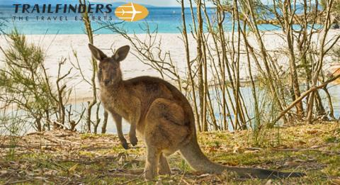 Kangaroo by the beach in Jervis Bay